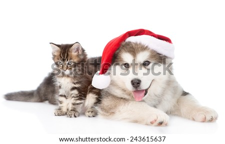 alaskan malamute puppy and maine coon kitten with red santa hat. isolated on white background