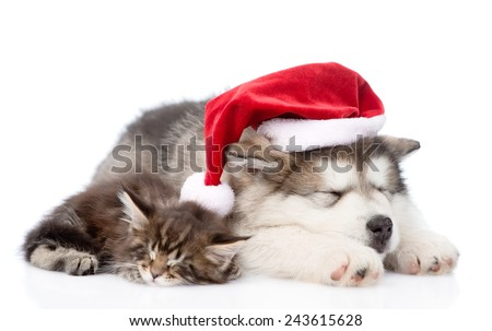 alaskan malamute puppy and maine coon kitten with red santa hat sleeping together. isolated on white background - stock photo