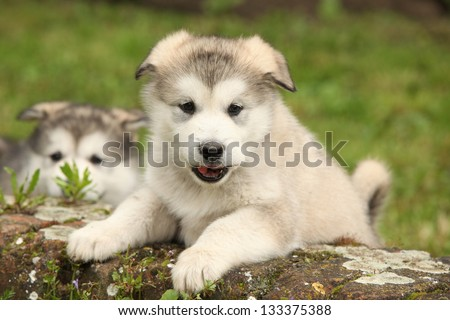 Alaskan Malamute puppy climbs while it looking at you