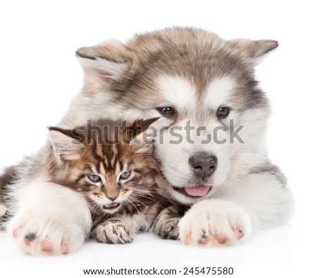 alaskan malamute puppy hugging maine coon kitten. isolated on white background - stock photo