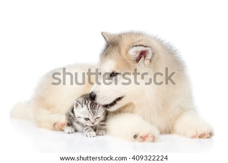 Alaskan malamute puppy licks a kitten. isolated on white background
