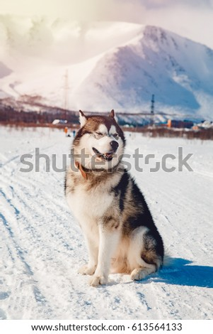 Alaskan Malamute, walks on the street and frolics in the sun in the snow in the winter against the backdrop of the mountains, sunlight flare. Concept walk with a dog in the fresh air.