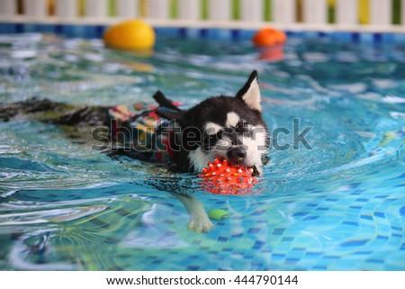 Alaskan malamute wear life jacket played toy in swimming pool, dog swimming, dog activity, happy dog - stock photo