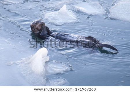 Alaskan Sea Otter Cracks Seashells Floating Animal Wildlife Fishing - stock photo