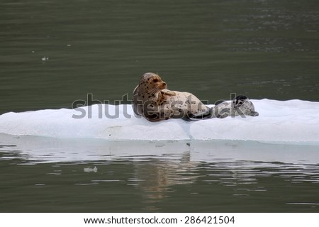 Alaskan seal - stock photo