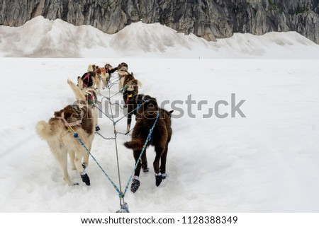 stock-photo-alaskan-sled-dogs-in-trainin