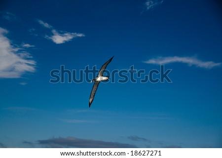 Albatross soaring across Cook Strait, near Wellington, New Zealand - stock photo
