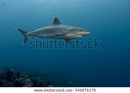 Albi marginatus shark - Rangiroa - French Polynesia
