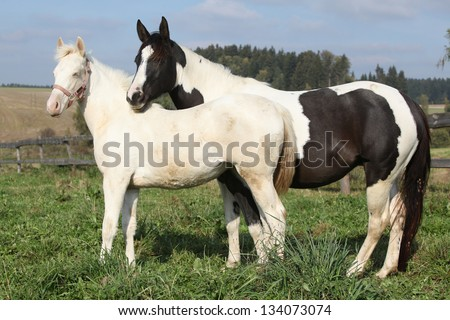 Albino and paint horse standing together on pasturage