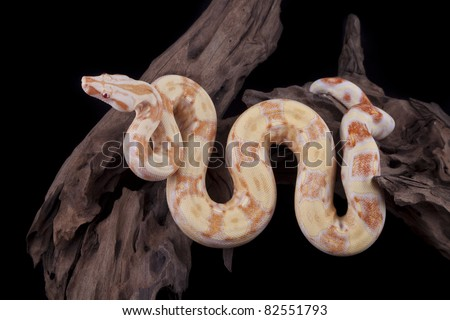 Albino Boa constrictor on a piece of wood, on a black background - stock photo
