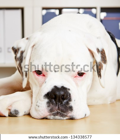 Albino boxer dog looking sad into the camera