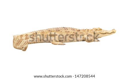 Albino crocodile isolated with clipping path - stock photo