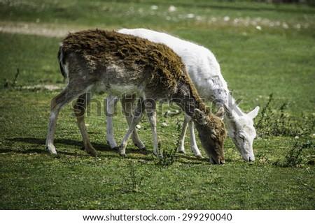 Albino deer. - stock photo