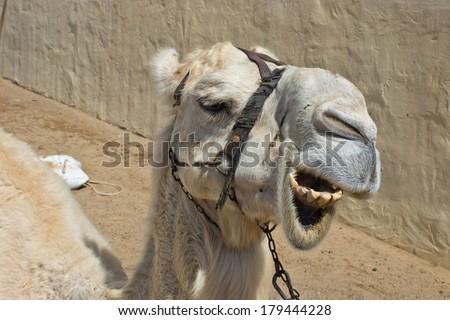 albino dromedary camel head portrait - stock photo