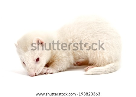 Albino ferret, lying on a white background Isolated on white background