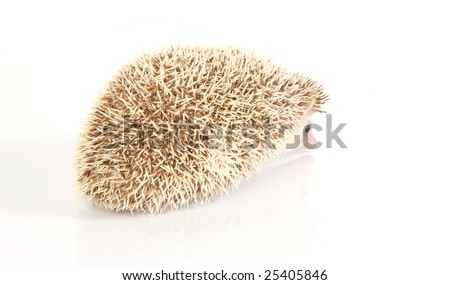 albino hedgehog baby - stock photo