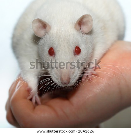 Albino laboratory rat on the hand - stock photo