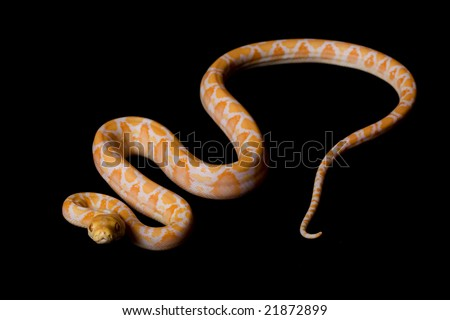 Albino Reticulated Python (Python reticulatus) on black background.