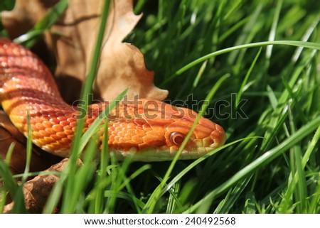 Albino Snake - Grass Snake - Ringelnatter on grass - stock photo