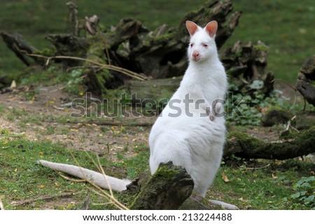 albino wallaby - stock photo