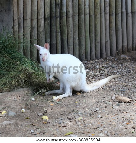 Albino wallaroo, macropus robustus - stock photo