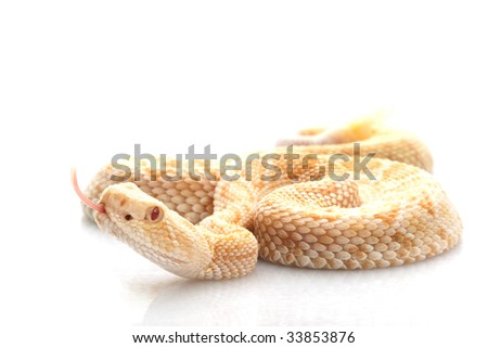 Albino Western Diamondback Rattlesnake (Crotalus atrox) isolated on white background.
