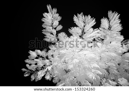Albizia tree in infrared photography