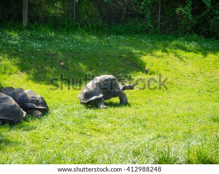 Aldabra giant tortoise (Aldabrachelys gigantea), from the islands of the Aldabra Atoll in the Seychelles, is one of the largest tortoises in the world.