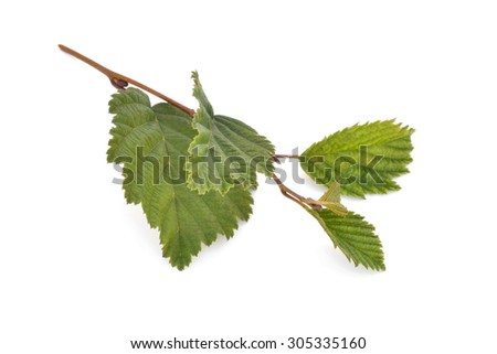 alder leaves with green cones isolated on white background
