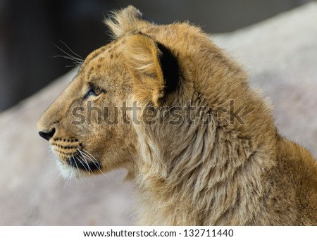 Alert and watchful young lion - stock photo