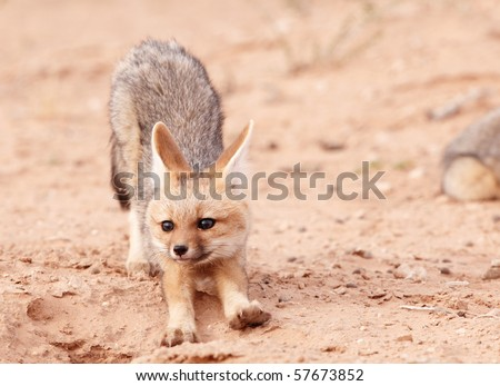 Alert Black-backed baby Jackals (Canis mesomelas) in South Africa - stock photo