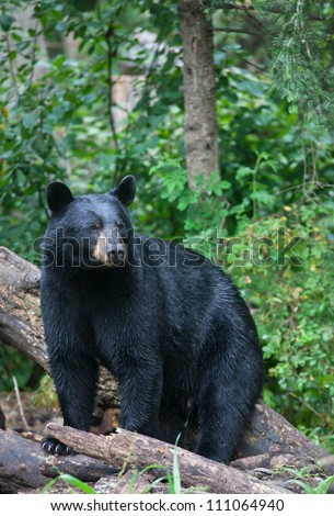 Alert black bear, stares off into the distance.  Summer in northern Minnesota. - stock photo