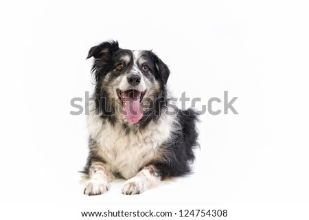 Alert border collie / sheepdog isolated on a white background