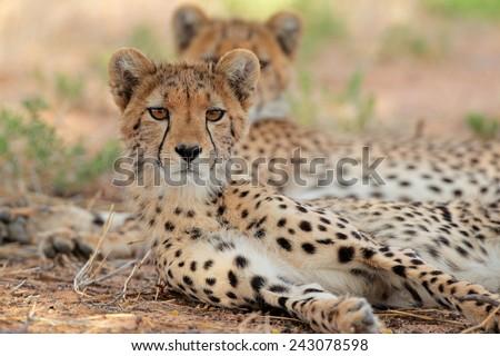 Alert cheetah (Acinonyx jubatus), Kalahari desert, South Africa - stock photo