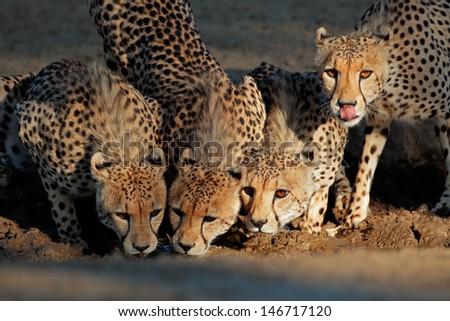 Alert cheetahs (Acinonyx jubatus) drinking water, Kalahari desert, South Africa - stock photo