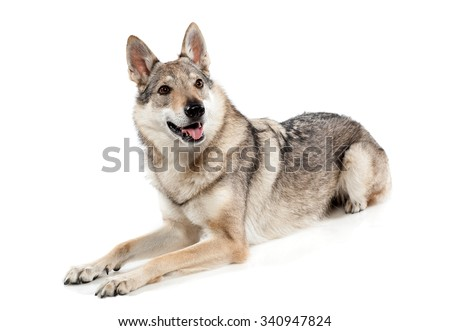 Alert Czechoslovakian wolf dog, a hybrid between a German Shepherd dog and Carpathian wolf, lying panting and looking to the side, over white