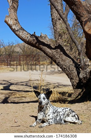 Alert farm dog watches and wait, his large ears perked up - stock photo