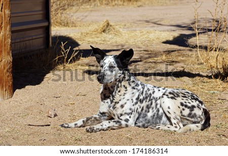 Alert farm dog watches and wait, his large ears perked up