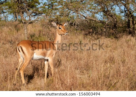 Alert Impala ewe in early morning light in South African bush - stock photo