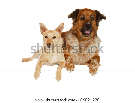 Alert jack russel terrier and large mixed breed dog lying close together side by side isolated on white