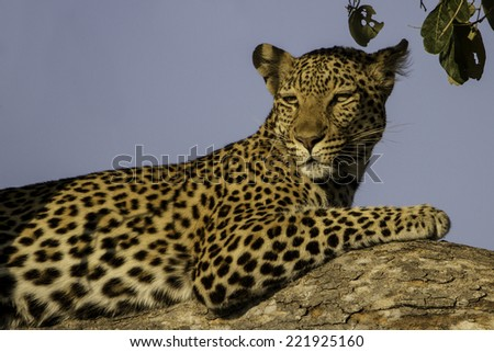 Alert Leopard in a tree - stock photo