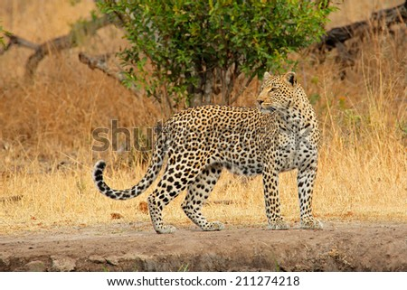 Alert leopard (Panthera pardus), Sabie-Sand nature reserve, South Africa - stock photo