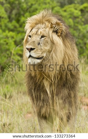Alert lion standing in long grass and staring ahead