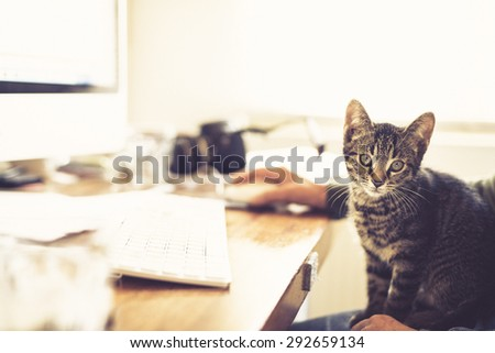 Alert little tabby kitten sitting on a mans lap as he works at his computer in an office staring intently at the camera - stock photo