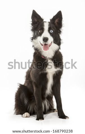 alert looking border collie, very smart dogs - stock photo