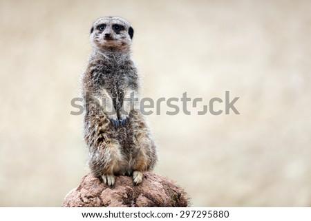 Alert meerkat on the lookout for predators - stock photo