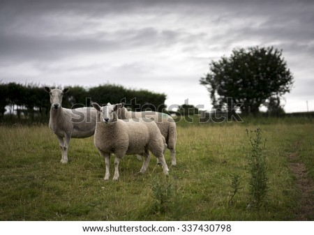 Alert Sheep in Herefordshire. UK.