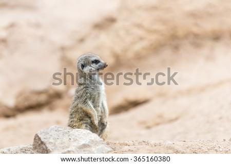 Alert South African meerkat  standing on guard (Suricate) - stock photo