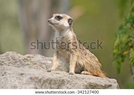 Alert Suricate or Meerkat (Suricata suricatta), standing to lookout - stock photo