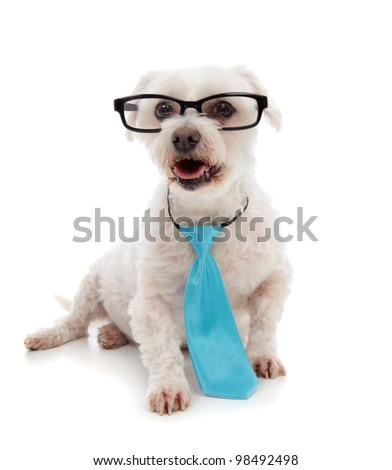 Alert white maltese terrier, looking up.  Wearing a blue tie and black rim glasses.  White background. - stock photo